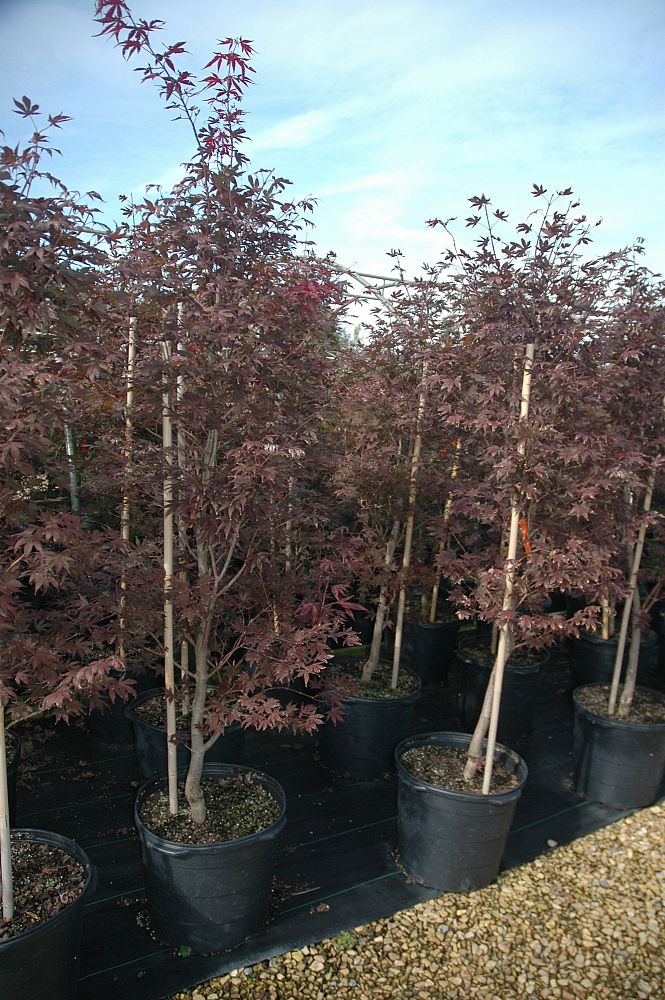 acer-palmatum-bloodgood-japanese-maple