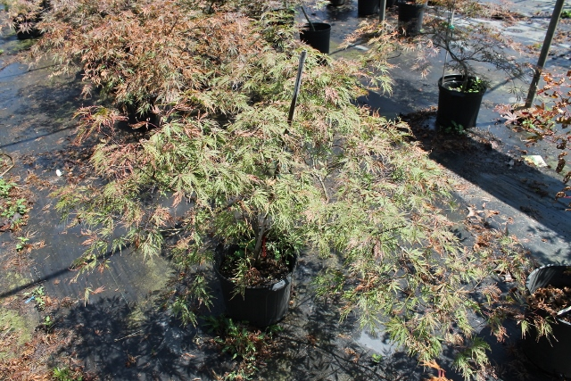 acer-palmatum-dissectum-inabe-shidare-weeping-laceleaf-japanese-maple