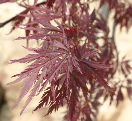 acer-palmatum-dissectum-red-dragon-weeping-laceleaf-japanese-maple
