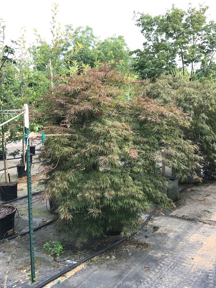 acer-palmatum-dissectum-weeping-laceleaf-japanese-maple