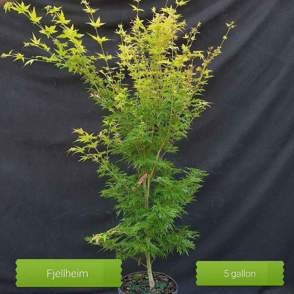 acer-palmatum-fjellhiem-japanese-maple