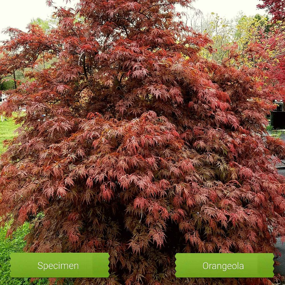 acer-palmatum-orangeola-japanese-maple