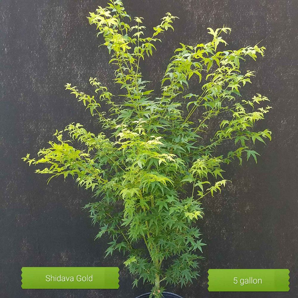 acer-palmatum-shidava-gold-japanese-maple