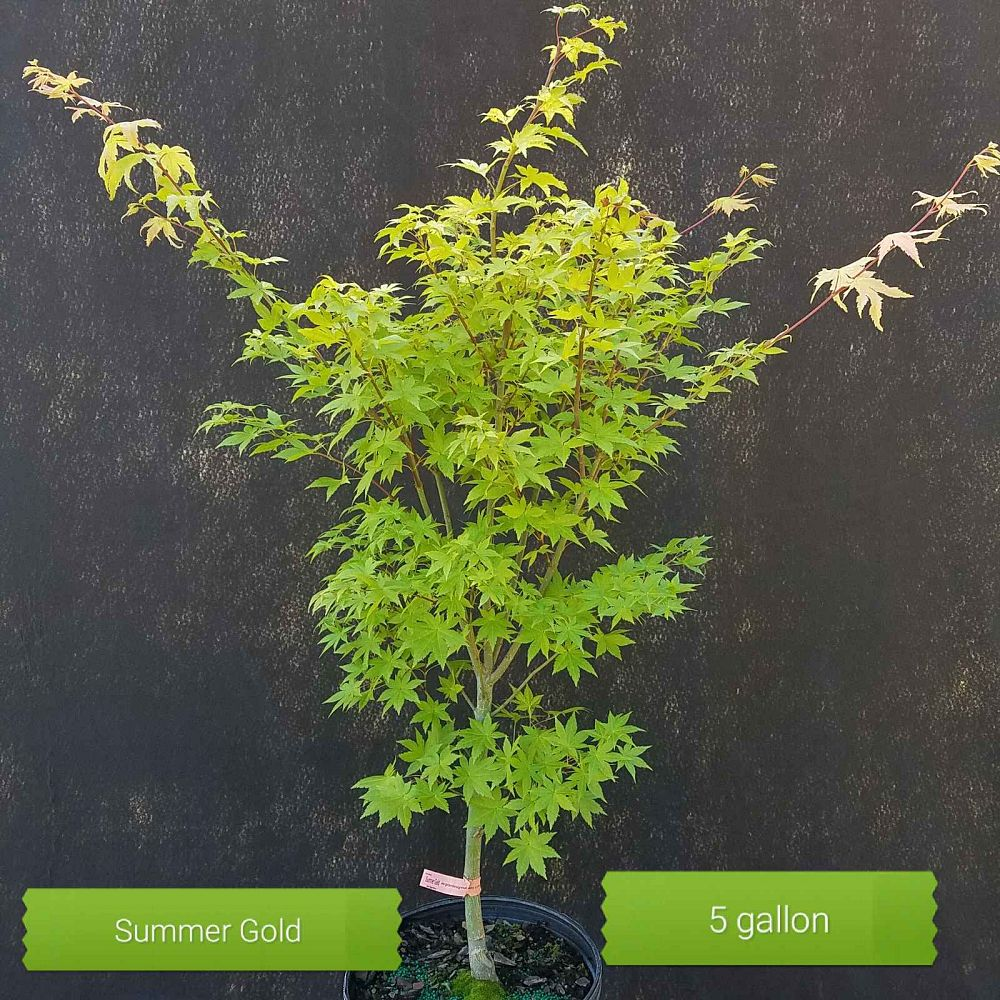 acer-palmatum-summer-gold-japanese-maple