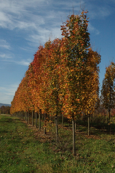 acer-rubrum-armstrong-red-maple