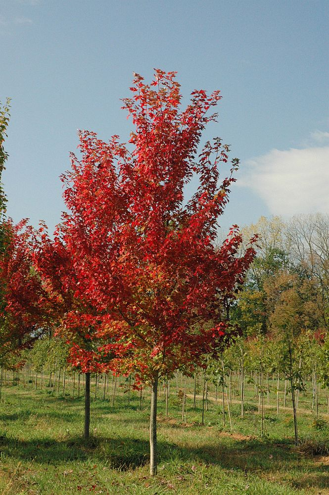 acer-rubrum-autumn-flame-red-maple
