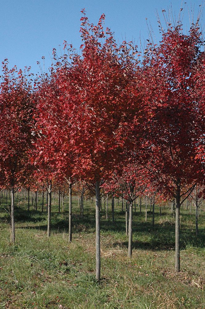 acer-rubrum-brandywine-red-maple