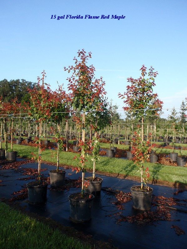 acer-rubrum-florida-flame-red-maple