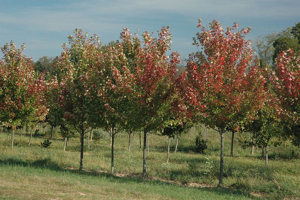 acer-rubrum-franksred-red-sunset-reg-maple