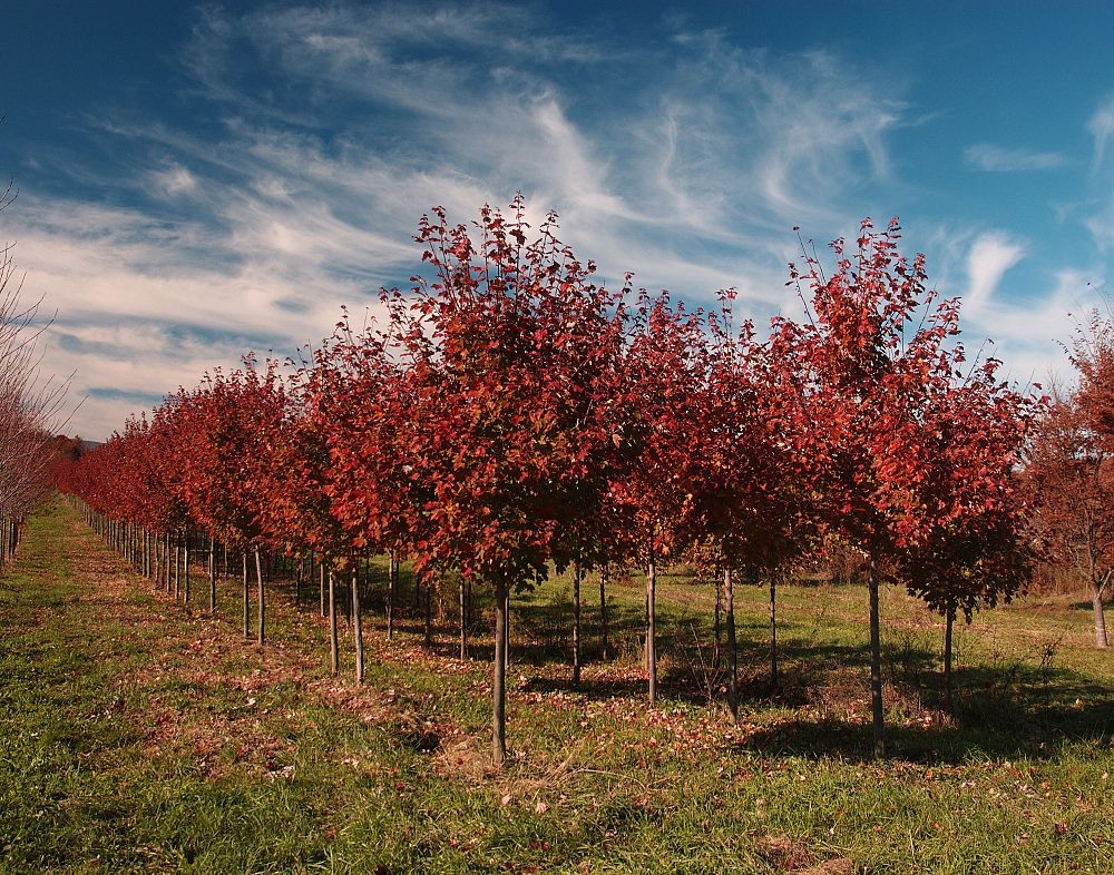 acer-rubrum-october-glory-red-maple-pni-0268