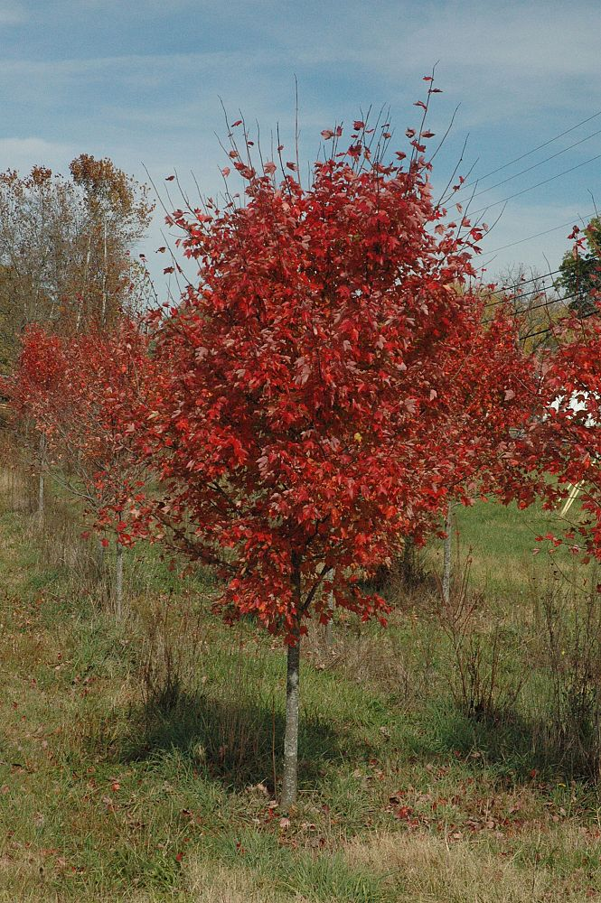 acer-rubrum-red-maple-rufacer-rubrum
