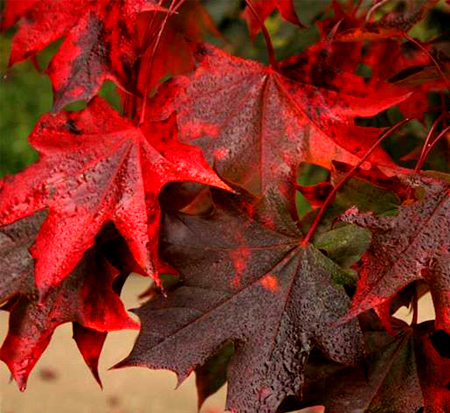 acer-rubrum-red-sunset-red-maple