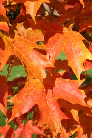 acer-saccharum-bailsta-sugar-maple-fall-fiesta