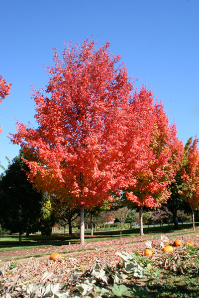 acer-saccharum-bonfire-sugar-maple