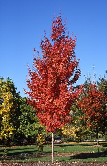 acer-saccharum-endowment-sugar-maple