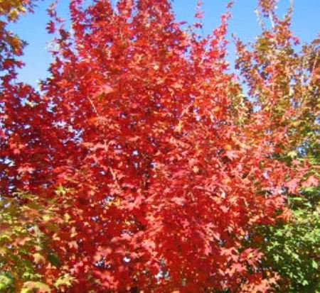 acer-saccharum-jfs-caddo2-sugar-maple-flashfire