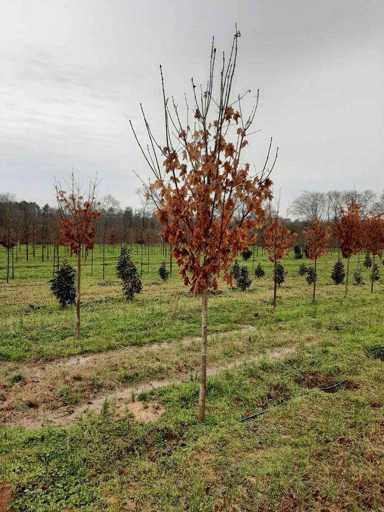 acer-saccharum-legacy-sugar-maple