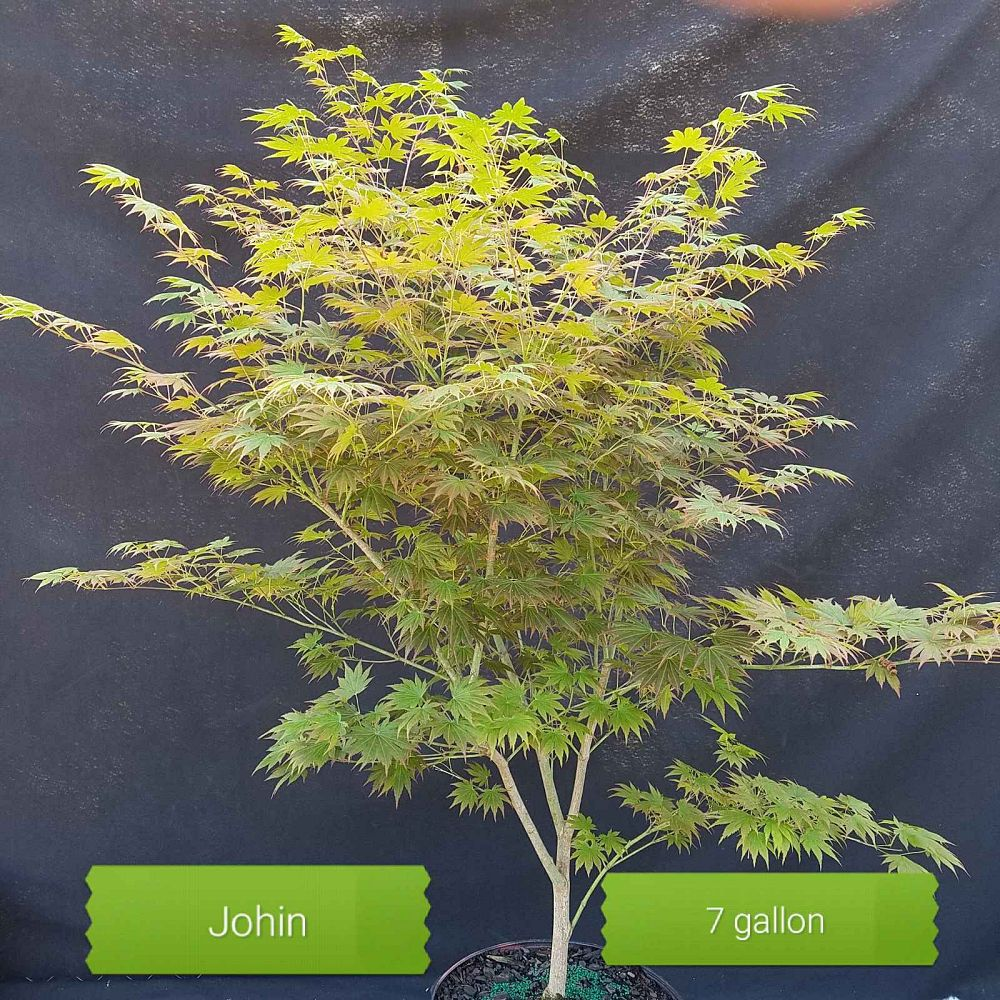 acer-shirasawanum-johin-fullmoon-maple