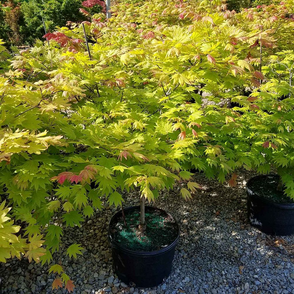 acer-shirasawanum-munn-001-fullmoon-maple-moonrise