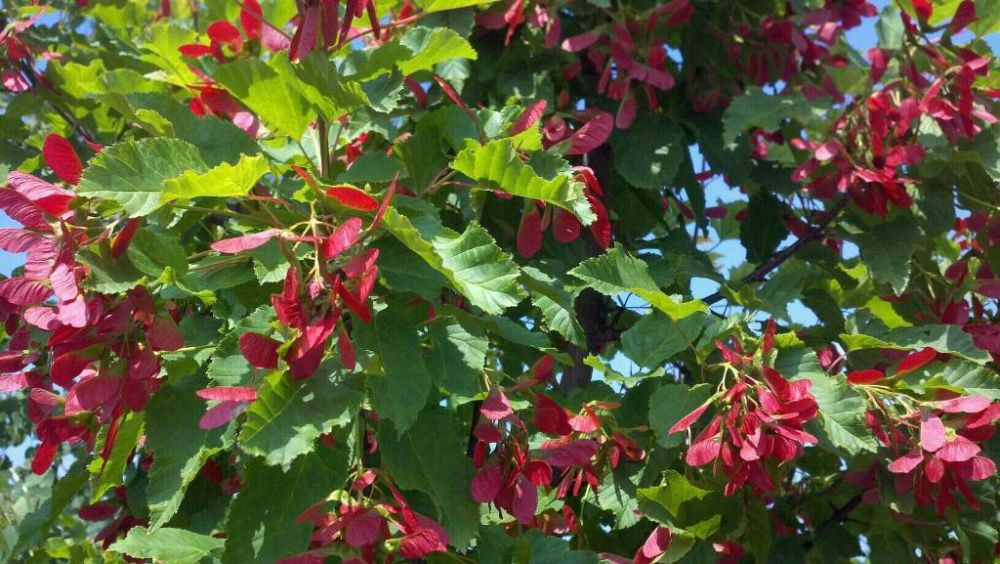 acer-tataricum-garann-tatarian-maple-hotwings