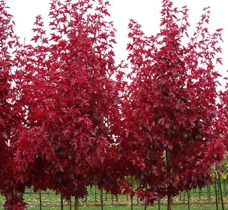 acer-truncatum-x-platanoides-jfs-kw187-maple-urban-sunset