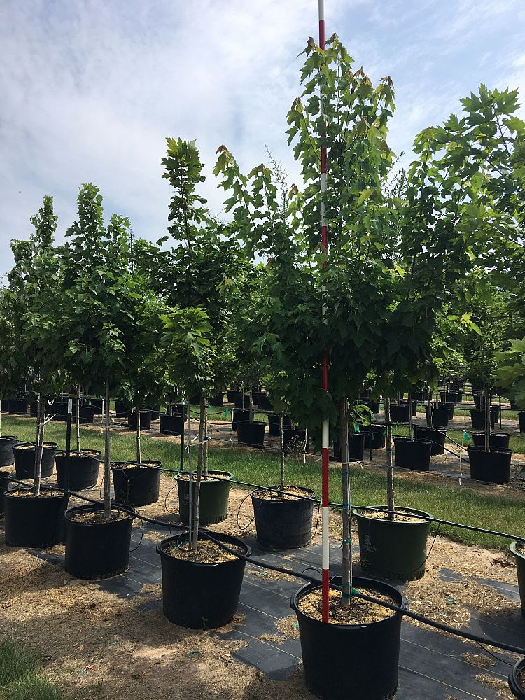 Sorelle Tree Farm Inc Plantant Com