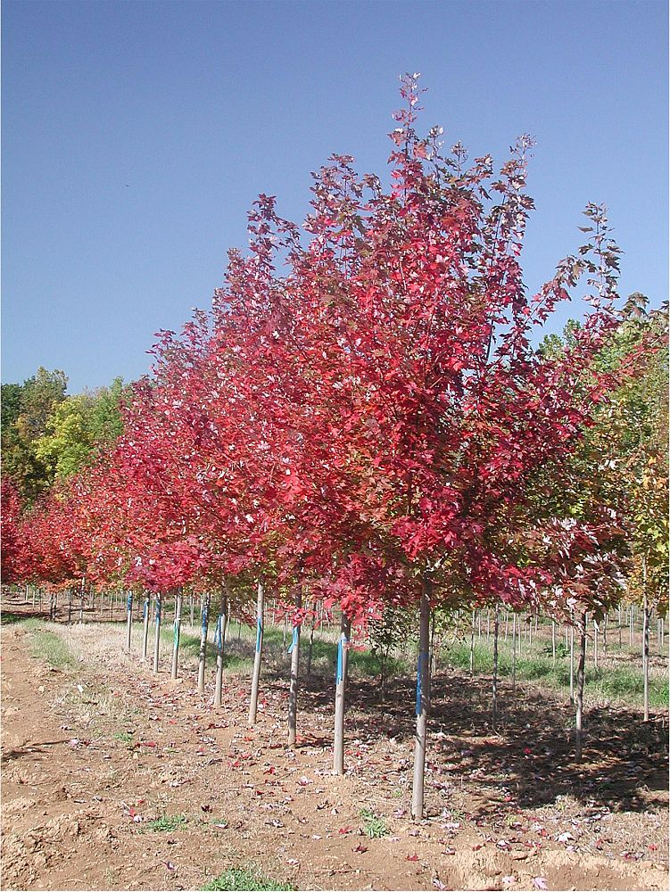 acer-x-freemanii-jeffersred-freeman-red-maple-autumn-blaze