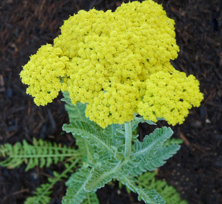 achillea-ageratum-moonshine-greek-yarrow