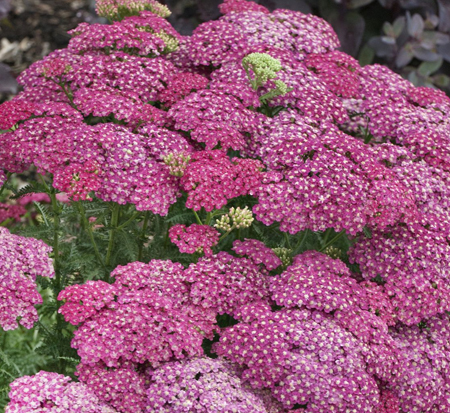 achillea-millefolium-saucy-seduction-common-yarrow