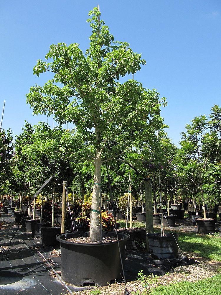 Treeworld Wholesale Inc Plantant Com