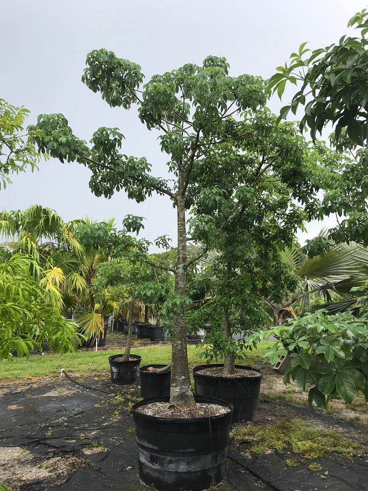 adansonia-digitata-baobab-tree
