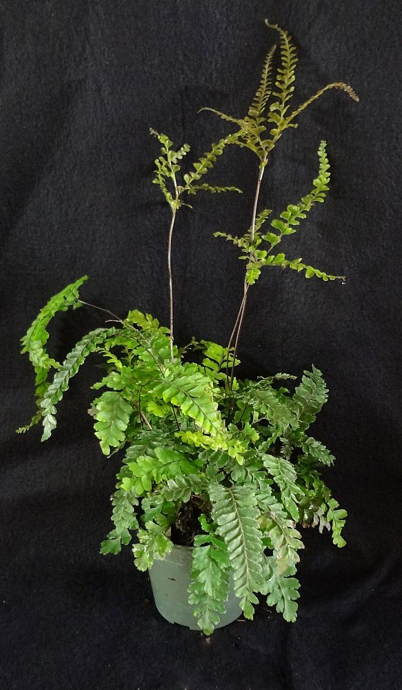 adiantum-hispidulum-rosey-rough-maidenhair-fern