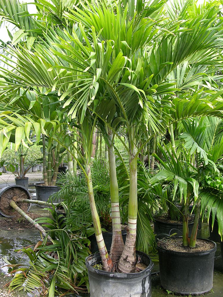 locate find wholesale plants plantantcom - Christmas Palm Trees For Sale