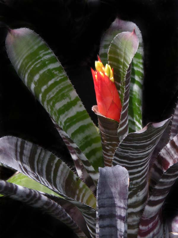 aechmea-black-chantinii-bromeliad