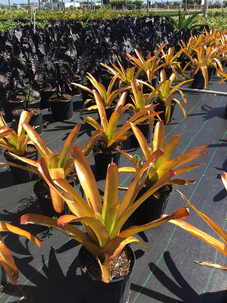 aechmea-blanchetiana-orange-bromeliad