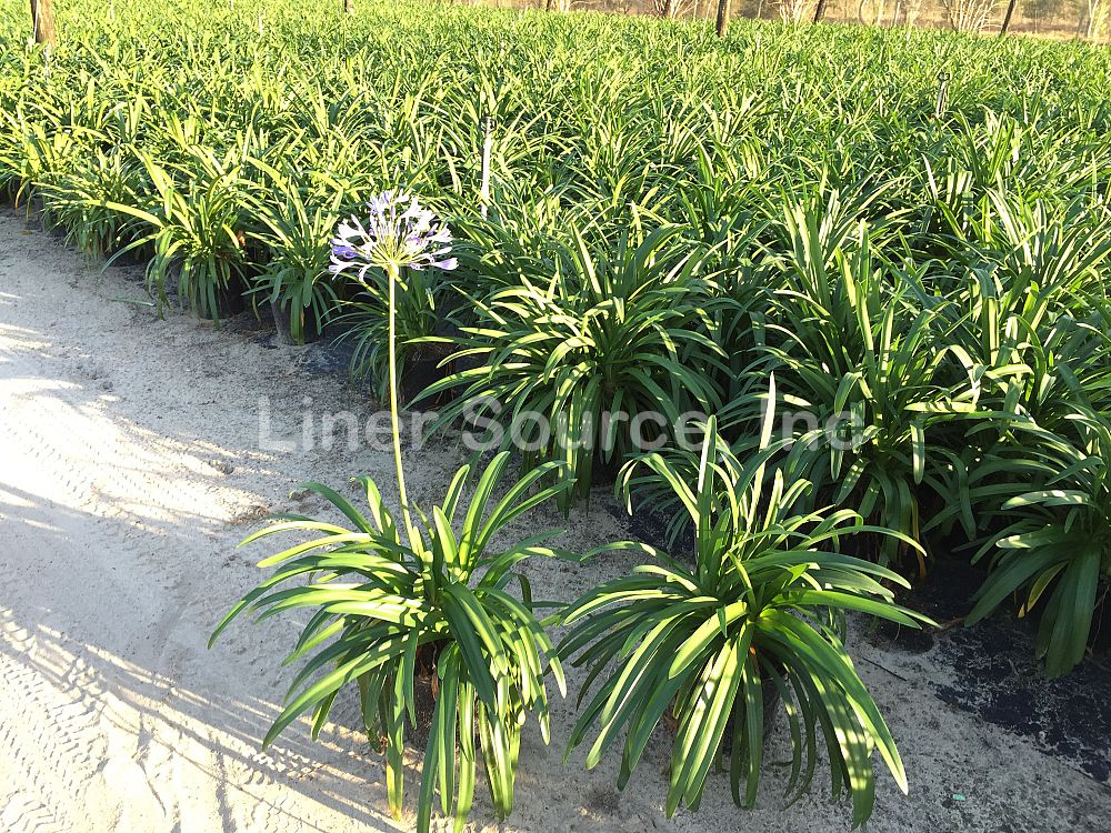 agapanthus-africanus-lily-of-the-nile