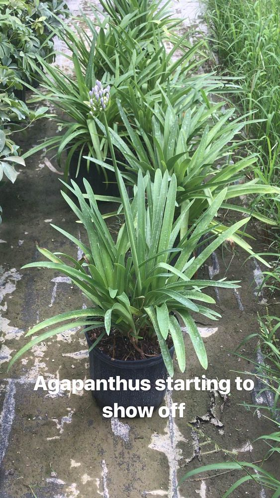 agapanthus-aquamarine-lily-of-the-nile