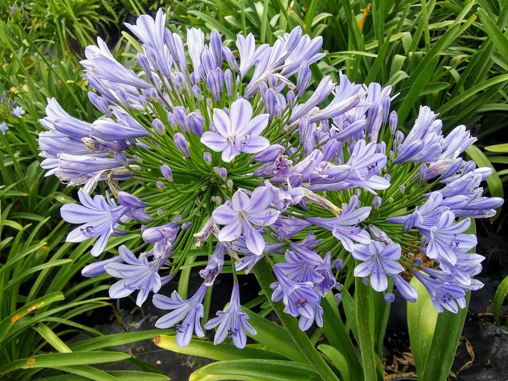 agapanthus-big-blue-lily-of-the-nile