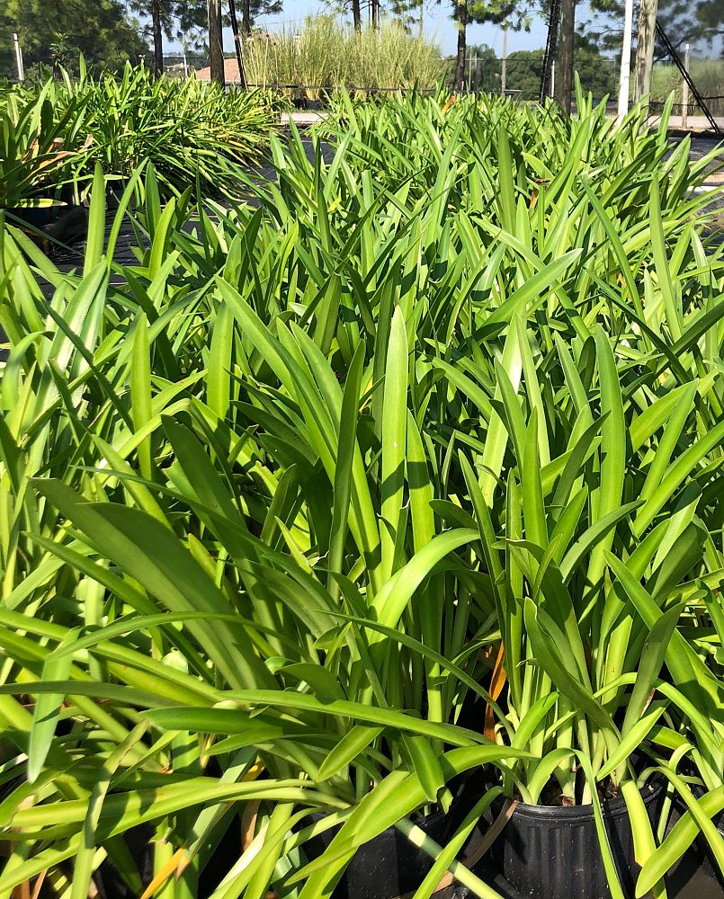 agapanthus-orientalis-lily-of-the-nile