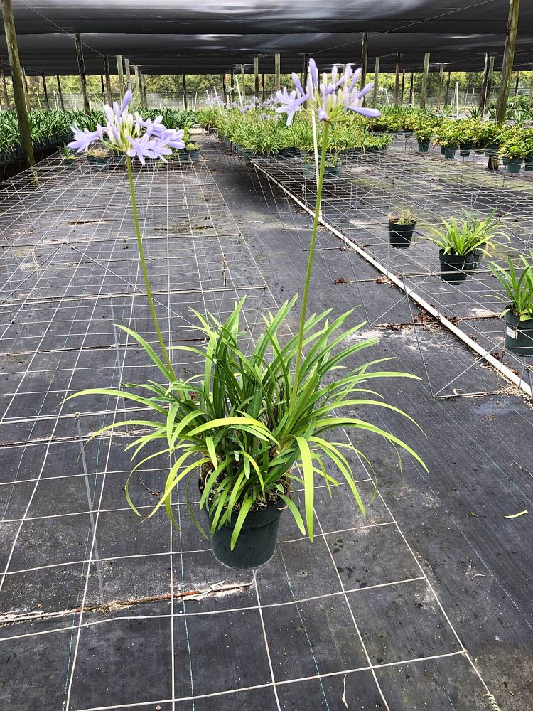 agapanthus-peter-pan-blue-dwarf-blue-lily-of-the-nile