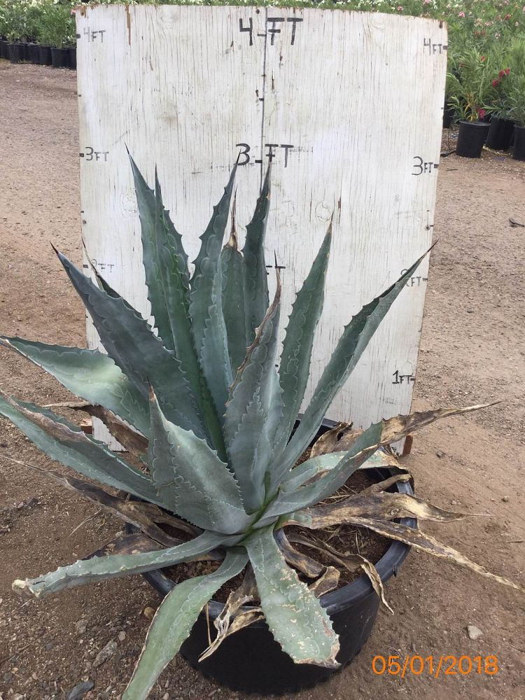 agave-americana-century-plant-yellow-agave-agave-amarillo