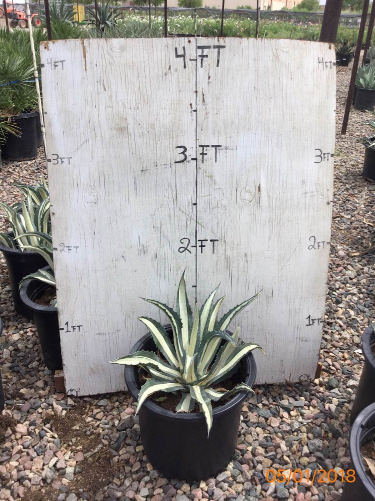 agave-americana-mediopicta-alba-century-plant-silver-blue-and-white-agave