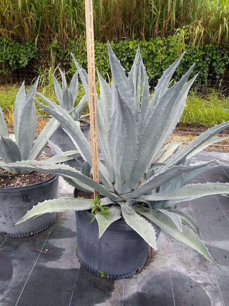 agave-americana-super-blue-century-plant