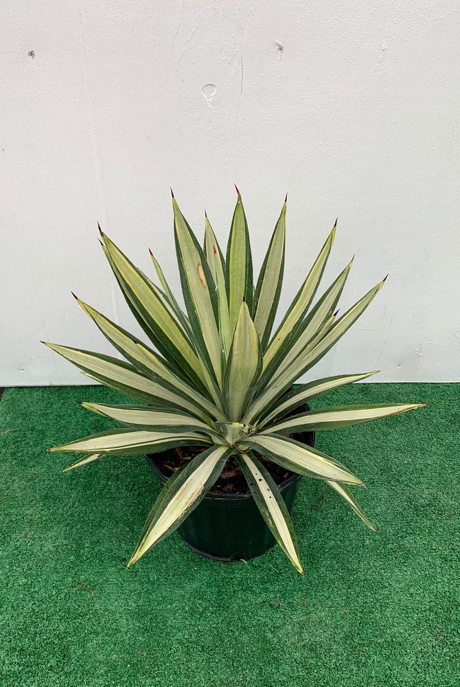 agave-americana-var-medio-picta-yellow-striped-century-plant