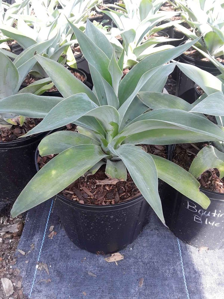 agave-attenuata-boutin-blue-agave-attenuata-huntington-blue