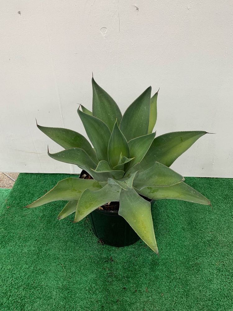 agave-blue-flame