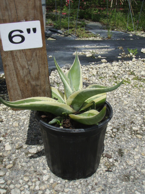 agave-guiengola