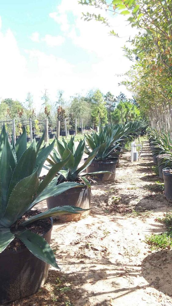 agave-impressa-green-giant