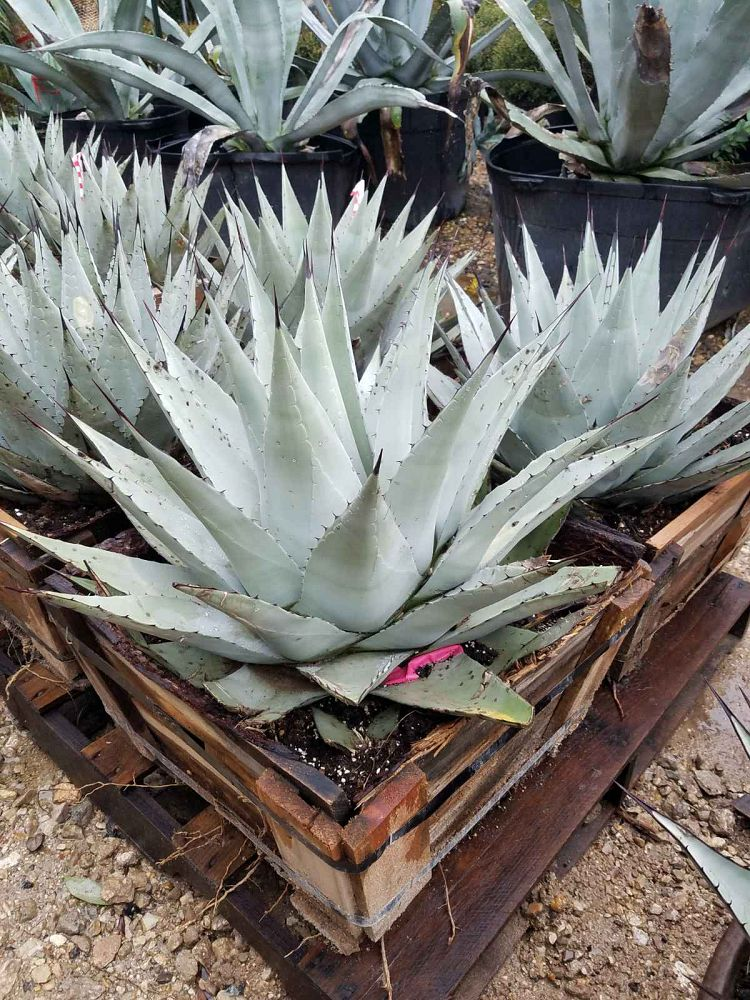 agave-neomexicana-mescal-new-mexico-century-plant