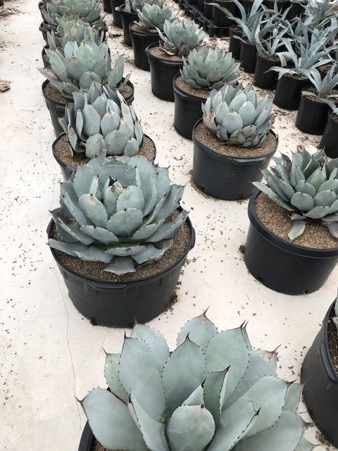 agave-parryi-parry-s-agave